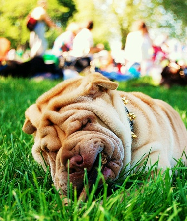 sharpei: Chinese Sharpei resting with her stick in the park