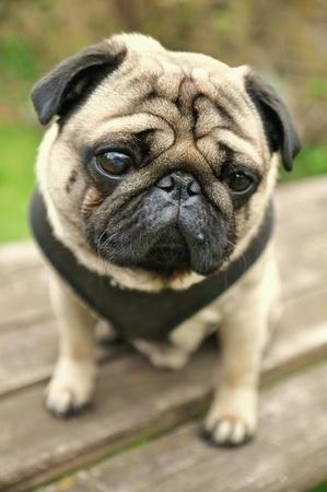 eye: Cute and sad Pug Dog Stock Photo