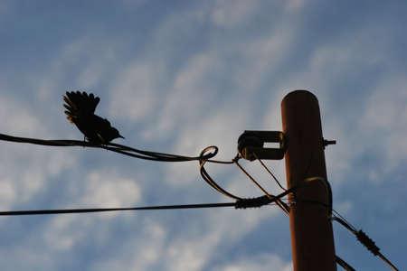 dovetail: Bird with spread tailfeathers