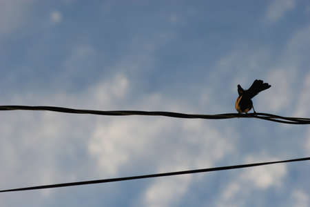 dovetail: bird on a power cable. Stock Photo