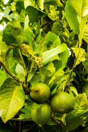Fresh green lemon Stock Photo - 15222262