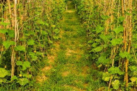 cucumber trees  photo