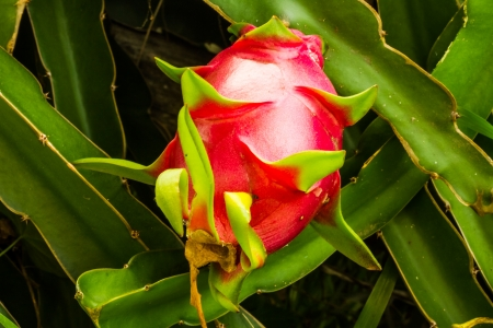 pink dragon fruit photo