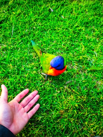 parrot in the garden walking to hand