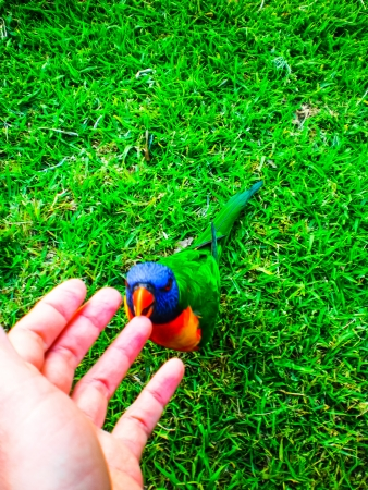 parrot in the garden walking to hand photo