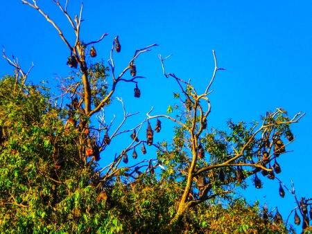 Bats hanging on the tree at Botanic garden sydney Stock Photo