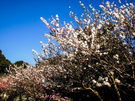 plenty of Sakura blossom with the blue sky