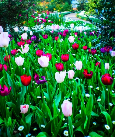 Colourful Tulip with plenty of flower  in the garden photo