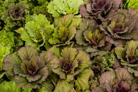 Green and purple fresh vegetable in the garden photo