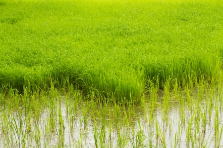 Green rice field in the north east of Thailand Stock Photo