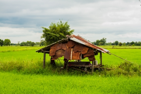 Old small house in the rice field photo