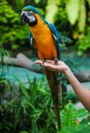 Yellow blue macaw standing on human hand Stock Photo - 17104549