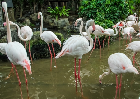 Group of Flamingos find a food in the river photo