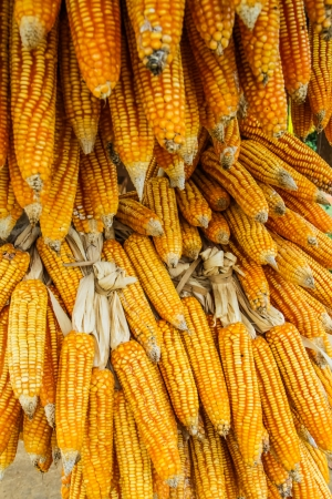 yellow dry corn ready for sale at country side of Thiland photo