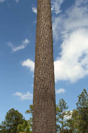 Big Pine tree with blue sky and cloud photo