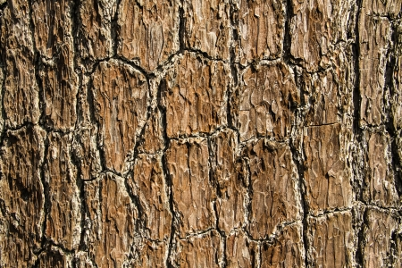 Brown Pine tree texture at pine forest Stock Photo