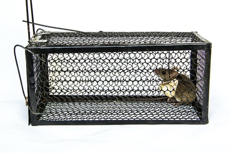 Rat in the cage trap on white background photo