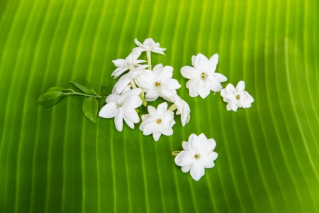 fresh white jasmine on green banana leaf photo