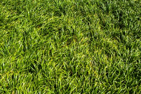 Green grass texture on the garden in the day time Stock Photo - 18382502