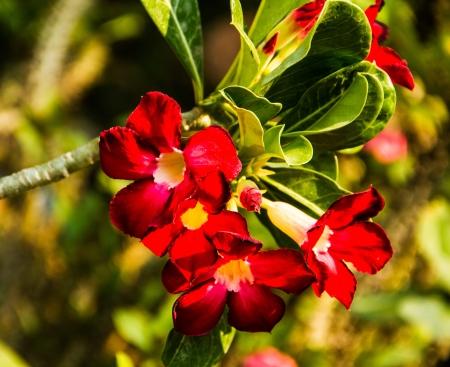 red desert rose on green leaf tree background Stock Photo - 18814438