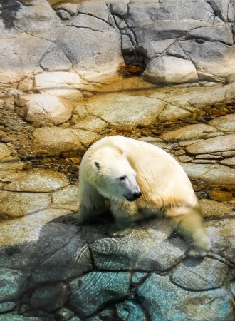 white polar bear step in to the water . photo