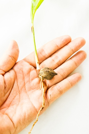 Young plam tree in hand on white background photo