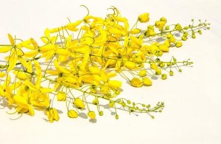 summer pudding: Beautiful golden shower flower on white background Stock Photo