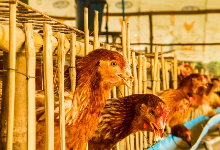 chicken cage: Chicken in the farm living in bamboo cage .