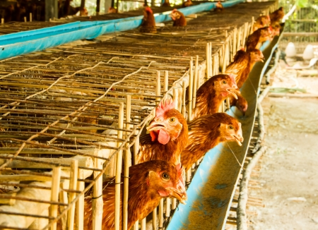 chicken cage: Chicken in the farm living in bamboo cage