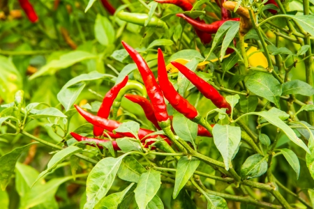 plentifully: Plentifully chilli on the tree in the garden. Stock Photo