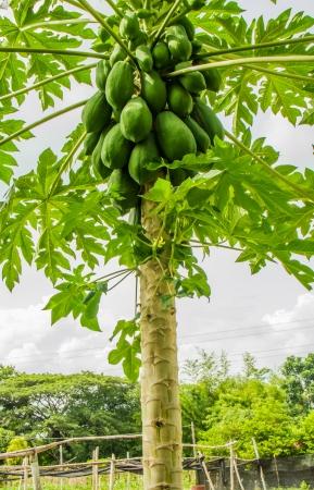 Plentifully papayas on papaya tree  photo