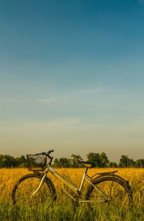 paddy field: Bicycle in the golden rice field . Stock Photo