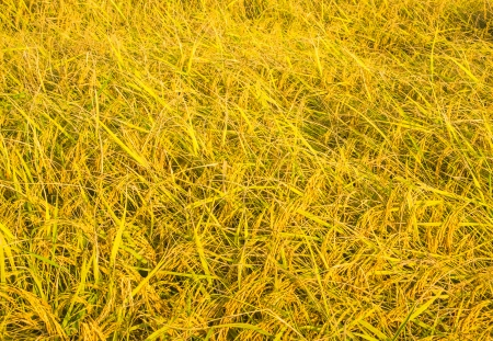 Golden paddy background in the rice field. photo