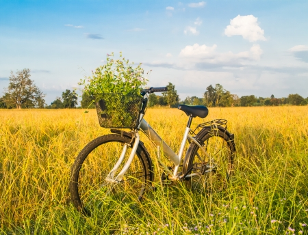 paddy field: Bicycle in the golden rice field