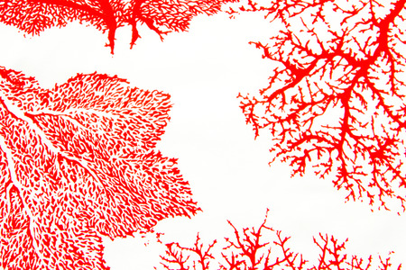 gorgonian: Red coral print on the white background  Stock Photo