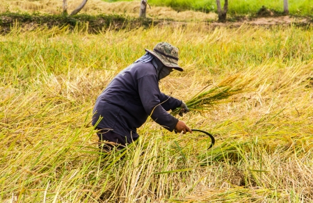 Farmer harvesting paddy in the rice field by sickle Stock Photo - 24156501