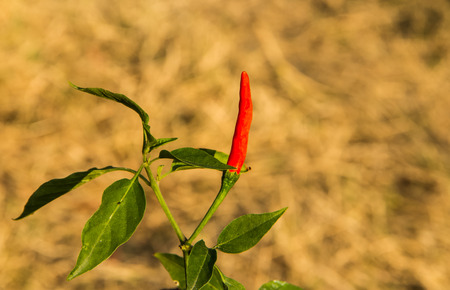Chilli tree on dried grasses . Stock Photo