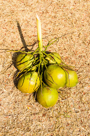 spacial: Young coconut on dry grasses floor.
