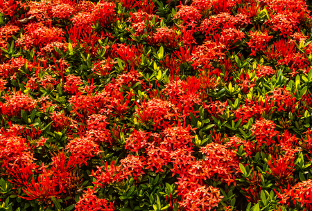 Red ixora close up background. photo
