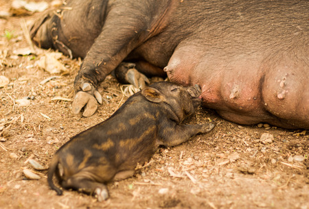Little pig sucking mother nipple . photo
