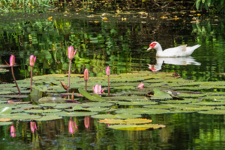 White duck floating in the pond. photo