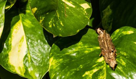 Chrysalis moving on green leaf. photo