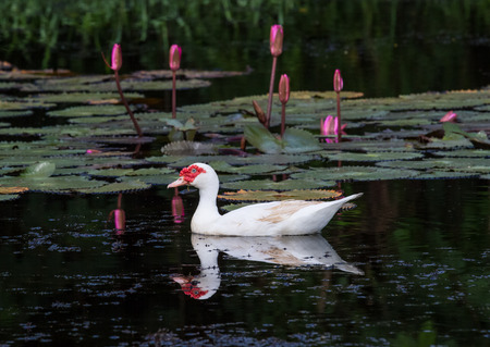 White ducks floating in the pond. photo