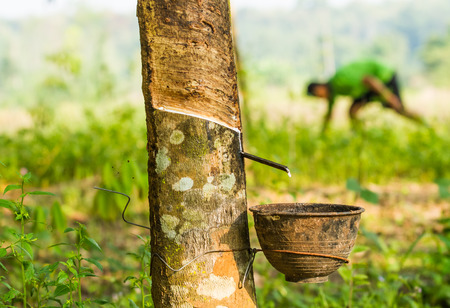 Cup hanging on rubber tree to pick up rubber liquid. photo