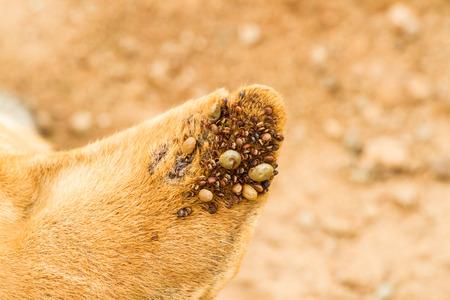 male wood tick: Dog ticks on dog ear. Stock Photo