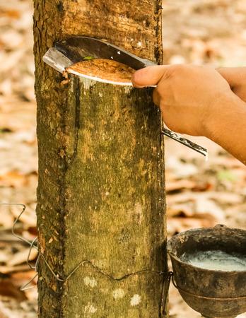 tapping: Gardener toccando albero della gomma da coltello.