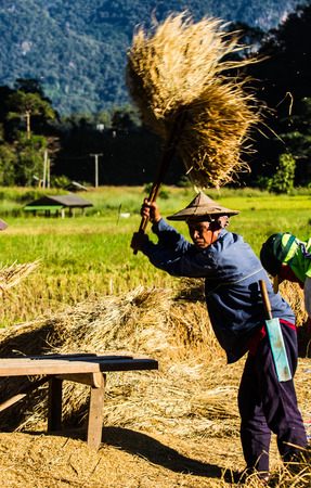 thresh: MAE HONG SON, THAILAND-NOVEMBER 13: The farmers harvesting rice from terraced rice field by hand on November 12, 2014 in Mae Hong Son, Thailand. This harvesting is original style .