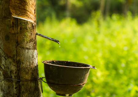 Cup hanging on rubber tree to pick up rubber liquid.