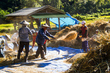 thresh: MAE HONG SON, THAILAND-NOVEMBER 12: The farmers harvesting rice from terraced rice field by hand on November 12, 2014 in Mae Hong Son, Thailand. This harvesting is original style .