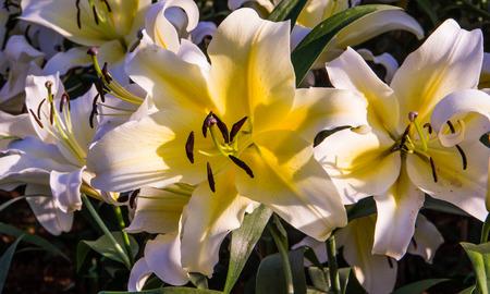 white lily: Lirio blanco en el jard�n.